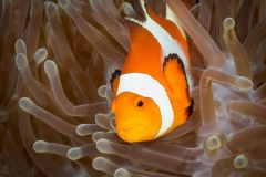 3-Reinard-Clown-Fish-Cabilao-region-Philippines