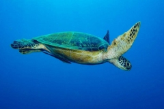 3-Reinhard-Turtle-Phillipines